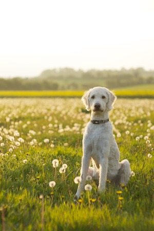 Friendly labradoodle dog waiting in open field of scattered dandelions.