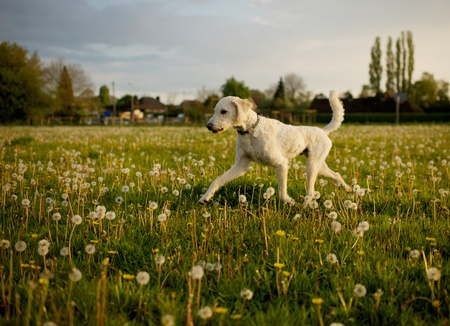 Dog running in open field full of dandelions,