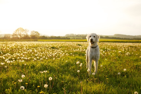Labradoodle dog in a field on dandelions on a summers day in England