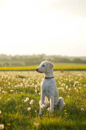 Friendly labradoodle dog waiting in open field of scattered clovers.