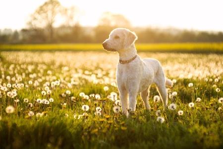 Perro Labradoodle en un campo de dientes de león en un día de verano en Inglaterra