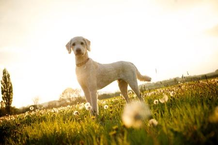 Labradoodle dog in open fields of dandelion flowers