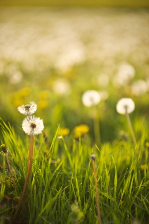 Dandelions in a wild meadow in southern England Stok Fotoğraf