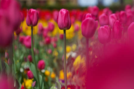 a bed of tulip flowers, pink, yellow and purple