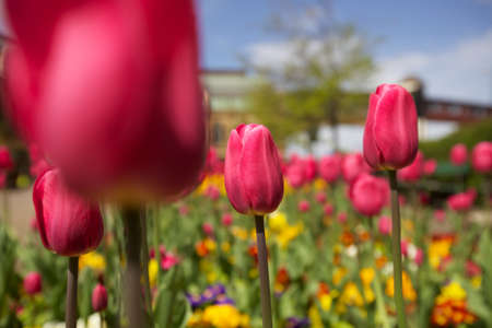 Bed of pink, yellow and purple tulips.