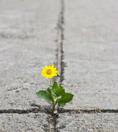 Beautiful flower growing on crack street photo