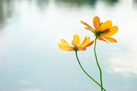gelbe Blumen auf See in pake Hintergrund