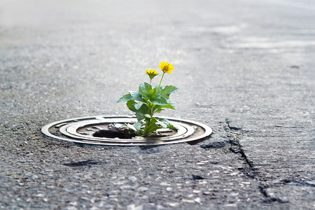 crack pipe: yellow flower growing in broken metal pipe on street, soft focus, blank text Stock Photo