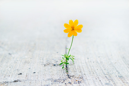 yellow flower growing on crack street, soft focus Banco de Imagens - 41528710