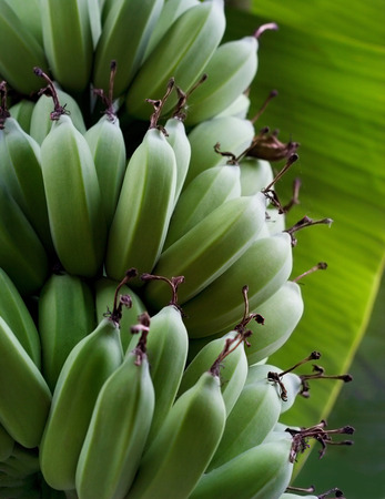 soft   focus: Fresh green raw bananas on the tree, soft focus
