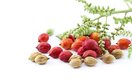 tree nuts: colorful all palm seeds three style, old young and baby on white background