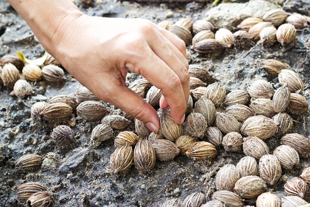 sow: hand sow seeds palm on soil after the rain Stock Photo