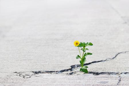 yellow flower growing on crack street, soft focus, blank text Foto de archivo