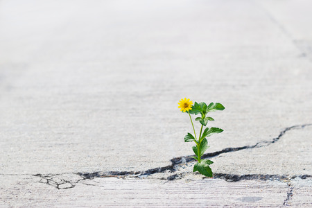 yellow flower growing on crack street, soft focus, blank text Stockfoto