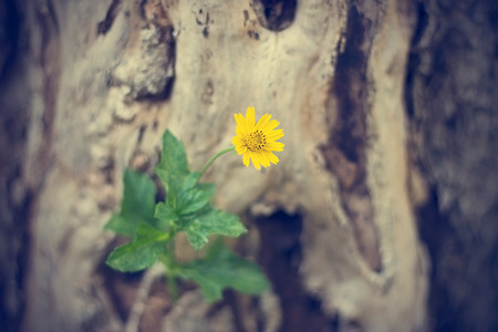 yellow flower tree: yellow flower growing on dead tree, soft focus, vintage color tone Stock Photo