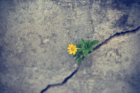 yellow flower growing on crack grunge wall, soft focus Archivio Fotografico
