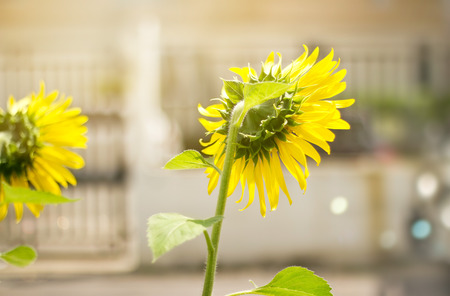 garden city: Sunflower garden in the city background Stock Photo