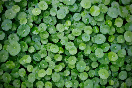asiatica: hydrocotyle background, After the rain, Water Pennywort , Centella asiatica Stock Photo