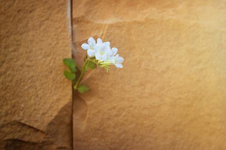 Witte bloem groeit op kraak stenen muur, zachte focus, warme kleur toon, blanco tekst Stockfoto