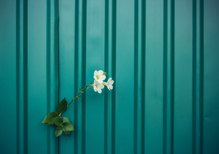 strong growth: white flower growing on crack metal wall, soft focus, blank text Stock Photo