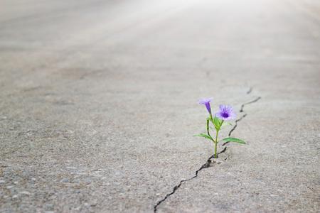 growing flowers: purple flower growing on crack street, soft focus, blank text