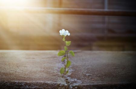 weiße Blume im Sunbeam auf Crack Straße wächst, Soft-Fokus Standard-Bild
