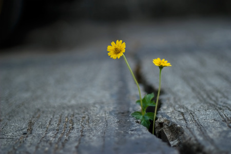 yellow flower growing on crack street, soft focus and dark background