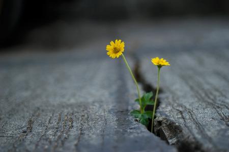 Flor amarilla que crece en la calle crack, enfoque suave y fondo oscuro Foto de archivo - 54952495