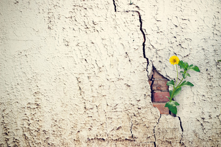 yellow flower growing on crack grunge wall, soft focus
