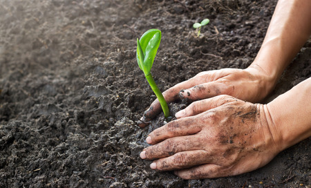 planting: Man hands planting the young tree while working in the garden, ,Ecology concept