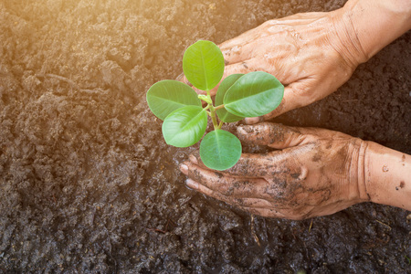 planting season: Man hands planting the young tree while working in the garden, ,Ecology concept