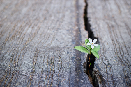 cracks: white flower growing on crack street, soft focus, blank text Stock Photo