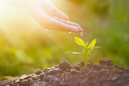 Handpflege und Bewässerung der jungen Pflanze auf Sonnenscheinnaturhintergrund, Weinlesefarbton, neues Lebenskonzept