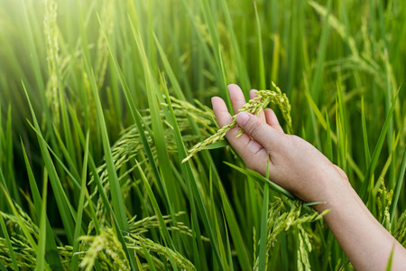 Woman hand tenderly touching a young rice in the paddy field Standard-Bild