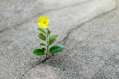 균열 거리, 희망 개념에 성장하는 노란색 꽃