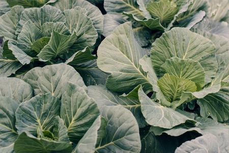 Organic vegetables. Fresh savoy cabbage harvested on the garden background Standard-Bild