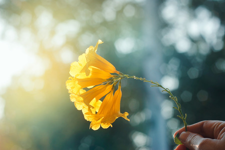 Yellow flowers in hand on a colorful sunset background Standard-Bild