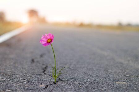 close up, purple flower growing on crack street background.
