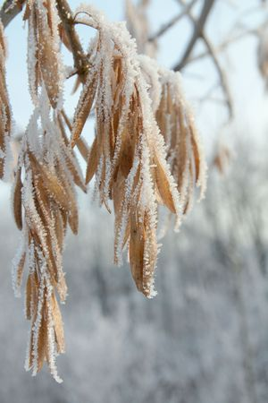winter hoar-frost leaves Stock Photo