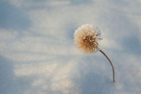 dandelion snow: Winter hoar-frost flower. dandelion