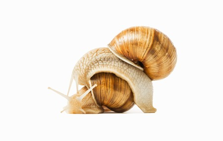 gastropod: Two snails drawn to each other isolated on a white background. The concept of love, feelings, attitudes.