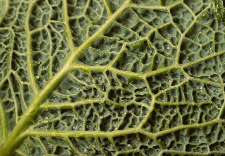 savoy: Fresh savoy cabbage leaf with water drops, top view
