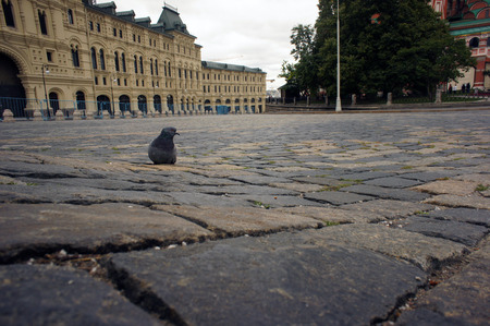 feral: Feral pigeon dove in the city street public square outdoor Stock Photo