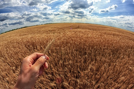 Man holds ears of corn in his hand. A field of wheat in the background. First-person view.