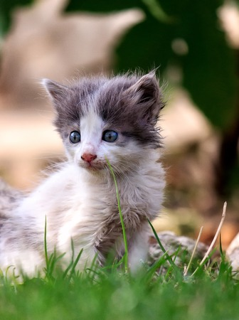 White and gray kitten sits on a green grass Banco de Imagens