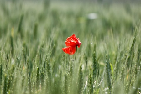 A lone red poppy in a field of green wheat
