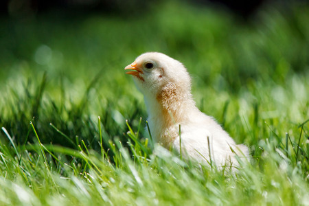 One little chicken on the green grass