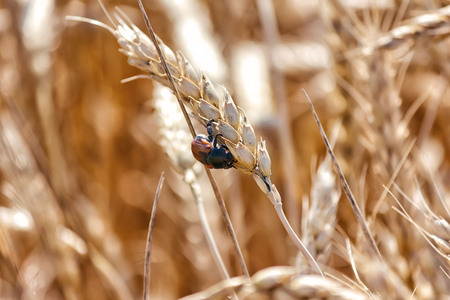 Scarab beetle on spikelet ripe wheat. Macro shoot. Stock Photo