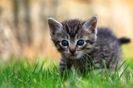 One beautiful striped kitten looking at the camera innocent look