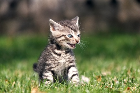 he: Striped kitten sitting on green grass with open mouth. He expresses emotions of anger or frustration, meowing